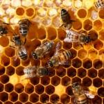 Mierea,   alimentul-minune