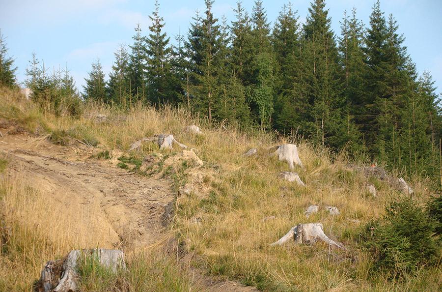 Pădurar cercetat pentru tăierea ilegală a aproape 300 de copaci