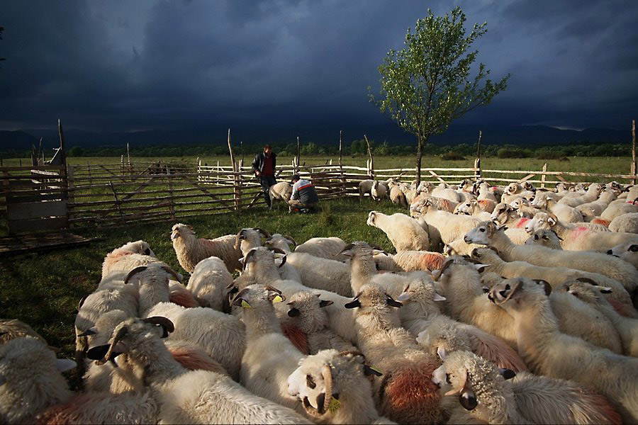 Stână de oi din Țara Oașului / Fotoreporter: Remus Țiplea