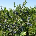 Localnicii din satele de munte culeg sute de tone de fructe de pădure anual