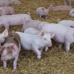Circa 15 crescători de porci sunt aşteptaţi să depună proiecte. Foto: recolta.eu