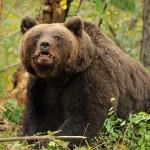 23 de urşi vânați anul acesta în Bistrița-Năsăud