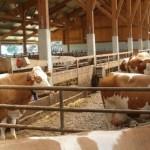 Fermierii crescători de bovine pot depune la APIA cererile de plăţi pentru lapte şi carne