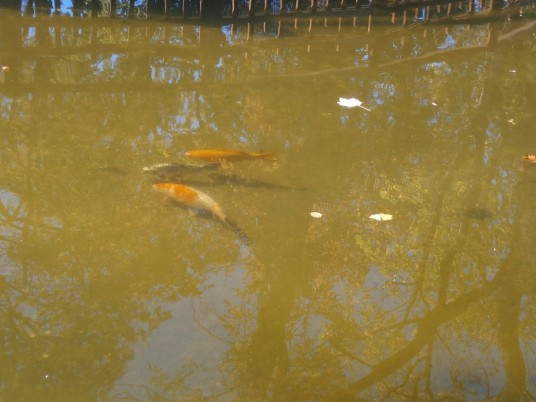 Peștii din lacul artificial par să se simtă în largul lor,   chiar dacă bântuie riscul de a fi pescuiți.