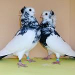 Porumbei jucători pestriţi bălţaţi de Satu Mare / Sursa foto: porumbei.ro