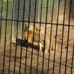 Leii nu au fost solicitaţi de nimeni,   aşa că vor rămâne deocamdată în Baia Mare