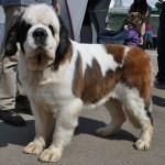 În competiţie au fost înscrişi 730 de câini din 90 de rase / Sursa foto: portalsm.ro