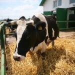 În Maramureş sunt  înregistrate peste 6.000 de solicitări pentru 24.000 de bovine / Sursa foto: zf.ro