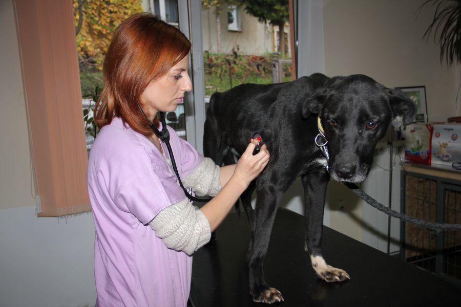Lady este consultată la Clinica Veterinară VETforPET, de medicul Cristina Nagy/Foto: Dan Bodea