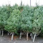 Primii 98 de brazi de Crăciun confiscați la Cluj