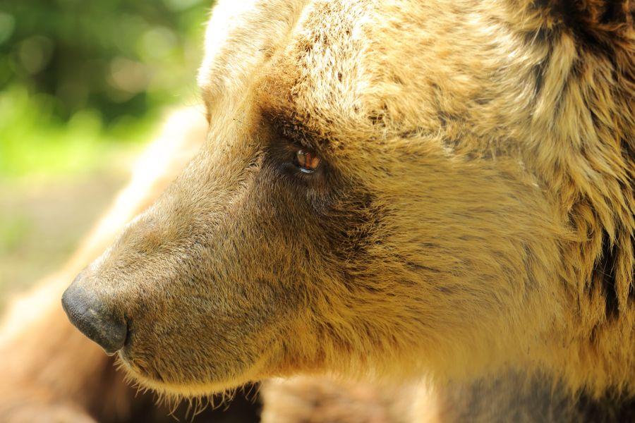 România se estimează a fi casa a aproximativ 35 % din totalul populației de urs brun din Europa