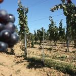 Vinul din județ  va apărea în curând sub indicaţia geografică Dealurile Sătmarului