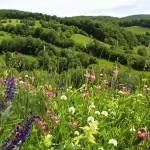 Prinţul Charles cultivă o pajişte transilvană în Marea Britanie