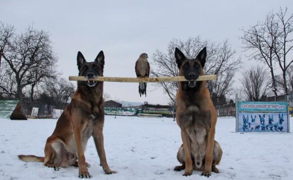Slow şi Solo,   ciobăneştii belgieni îşi demonstrează calităţile într-o şedinţă foto realizată la Şcoala de dresaj Dog Master/Foto: Dan Bodea