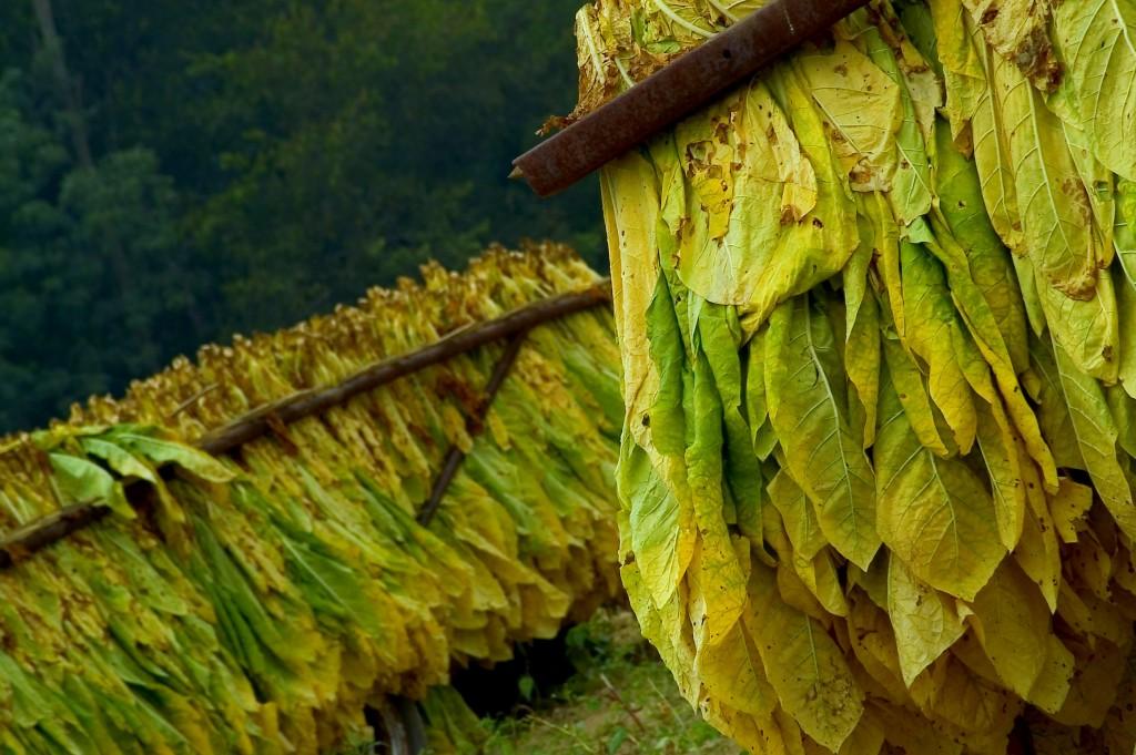 """Tutunul sau """"tabacul"""" (Nicotiana tabacum) este o plantă din familia """"Solanaceae"""" familie de care aparţin şi tomatele,   cartoful,   şi mătrăguna."""
