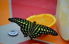 Cea mai inedită expoziție de fluturi tropicali aduce împreună peste  250 de fluturi ce provin din Africa,   America de Sud şi sudul Asiei,   precum și câteva specii europene. / Foto: Maria Man
