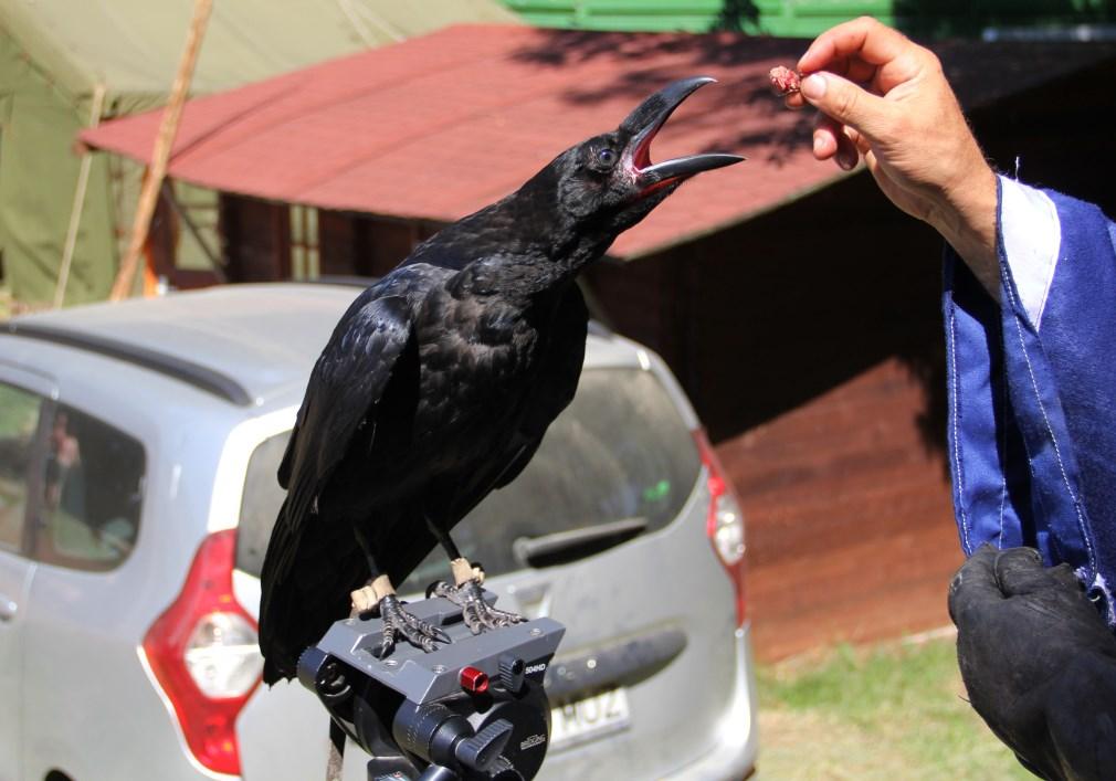 Prețul unei păsări răpitoare pornește de la 200 de euro și poate ajunge la 7000 de euro în funcție de specie/Foto: Dan Bodea