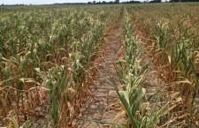 20.000 de hectare cu porumb, afectate grav de secetă în judeţul Cluj