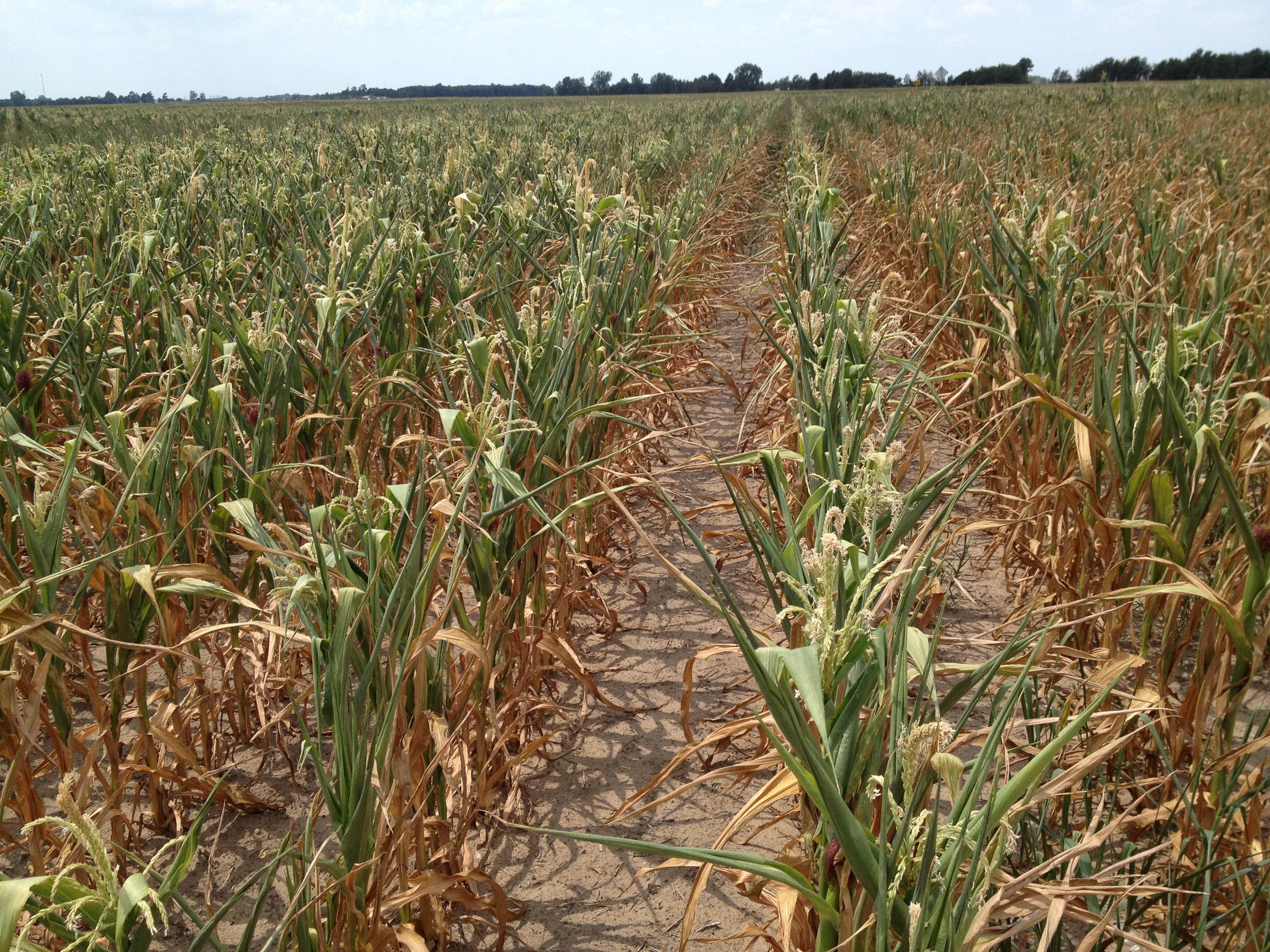 Drought-hits-animal-feed-in-Moldova