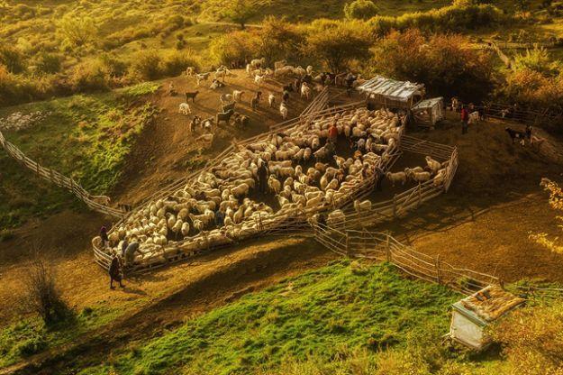 Alesul oilor/ Foto: Auras Mihaiu