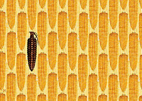 gmo-or-nongmo-corn