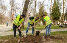 """""""Ofensiva verde"""": primăria a început o campanie de plantări de arbori și gard viu"""