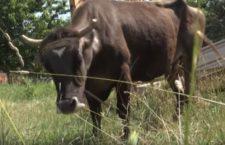 Vaca Penka a învins birocrația bulgară
