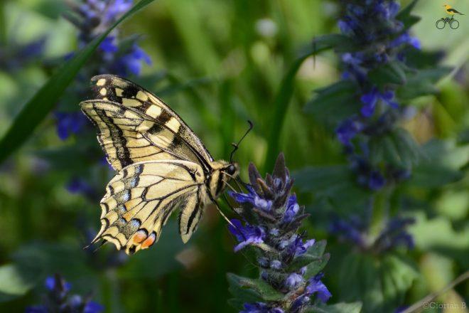 Coada rândunicii - Papilio machaon -1