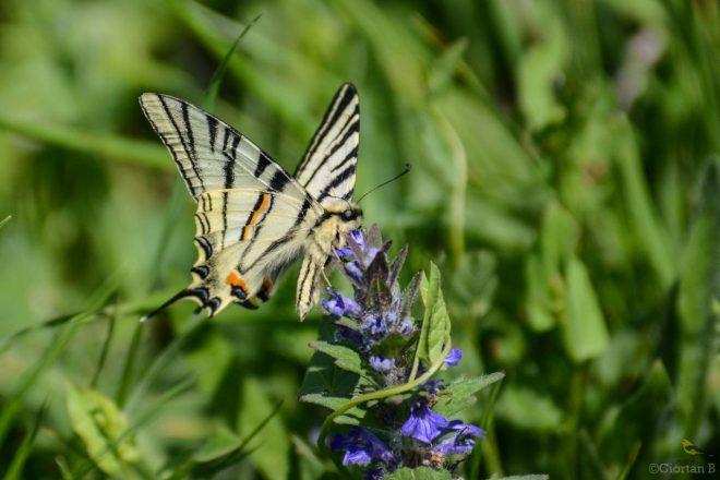 Fluturele sabie Iphiclides podalirius-1