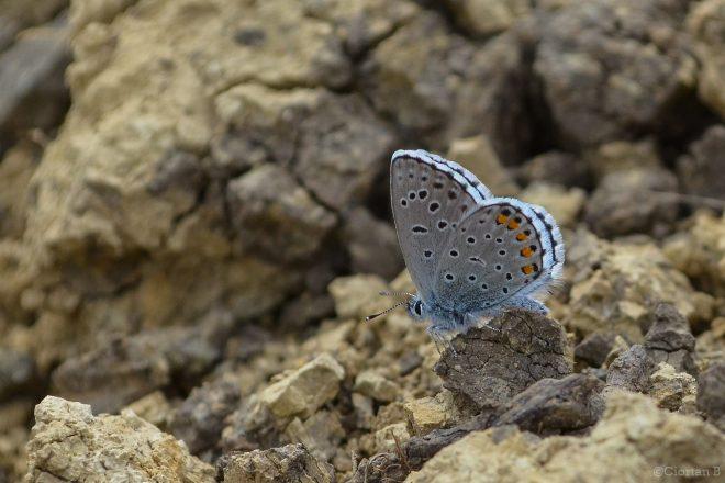 Pseudophilotes schiffermuelleri - Albastrelul mic al cimbrisorului