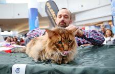 Aslan, una din pisicile cele mai admirate de la Vivo | Foto: Dan Bodea
