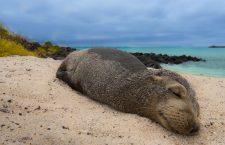 Specialiști ai USAMV Cluj-Napoca demarează un proiect în Arhipelagul Galapagos pentru leii de mare