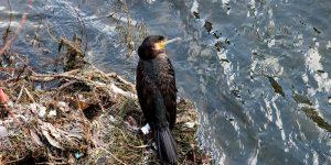 Delir de iarnă: cormoranii străini înfulecă peștii de pe Someș
