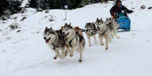 GALERIE FOTO| Câinii zăpezilor au făcut spectacol la Cupa Beliș 2018