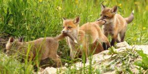 """Viața fotografilor de wildlife: """"Părinți de vulpi"""" pe dealurile Clujului"""